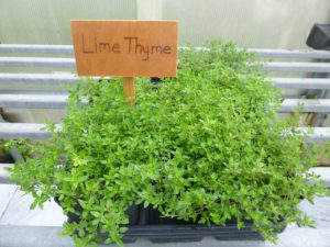 Thyme ~ Lime